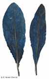 Treated leaves of woad with unveiled indigo