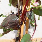 Christmas surprise: Malabar spinach