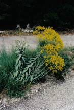 Blooming woad plant in South France